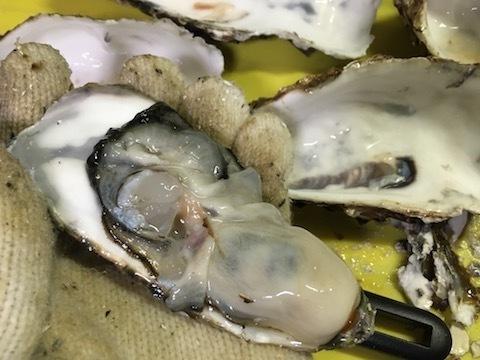サロマ湖産の殻付き生牡蠣4