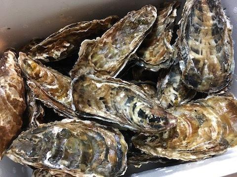 サロマ湖産の殻付き生牡蠣2