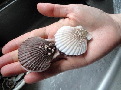 ホタテの稚貝
